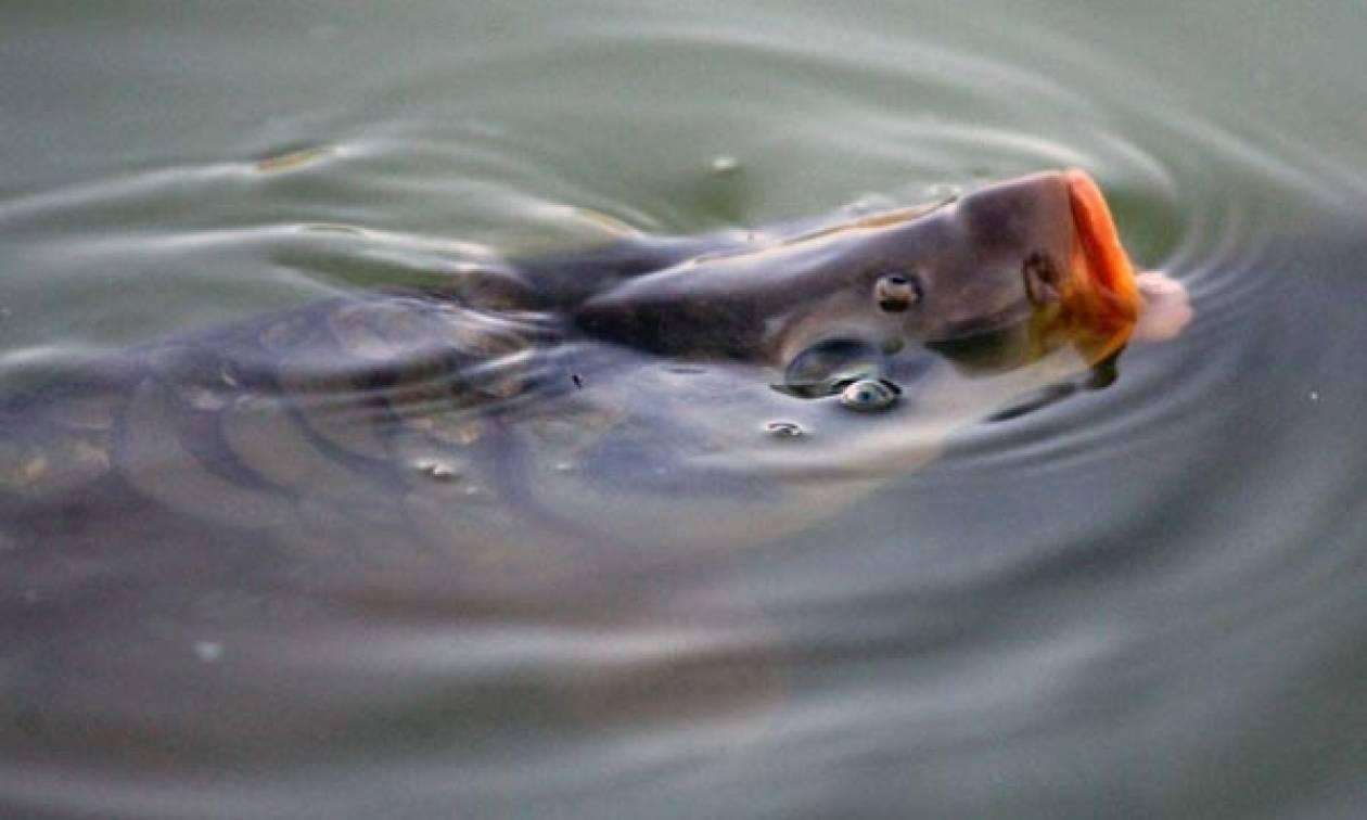 Ιωάννινα: Κυπρίνος 10 κιλών αλιεύτηκε στη λίμνη Παμβώτιδα! (pic)
