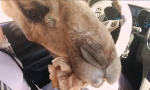 Πεινασμένη καμήλα κάνει «ντου» σε αυτοκίνητο τουριστών και τους κλέβει το φαγητό! (vid)
