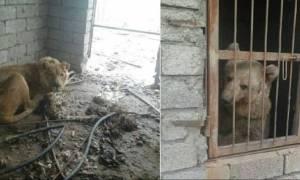 «Πρόσφυγες» στην Ιορδανία οι τελευταίοι επιζώντες του ζωολογικού κήπου της Μοσούλης (videos)