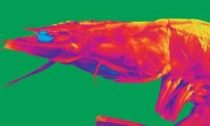 Βρετανία: Ένα είδος γαρίδας βαφτίστηκε Pink Floyd προς τιμή του βρετανικού συγκροτήματος