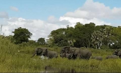 Βίντεο σοκ: Κροκόδειλος αρπάζει ελέφαντα από την προβοσκίδα (vid)