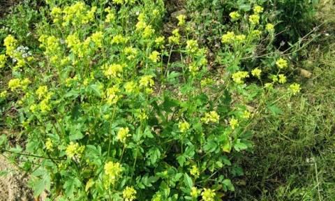Πόσοι γνωρίζετε πώς λέγεται αυτό το συνηθισμένο κατακίτρινο ανοιξιάτικο αγριολούλουδο; (pics)