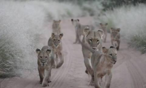 Συγκινητική στιγμή: Λιονταράκια αφήνουν τη νεκρή μητέρα τους και ακολουθούν την αδερφή της (video)