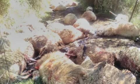 ΦΡΙΚΗ! Έσφαξαν ένα ολόκληρο κοπάδι πρόβατα την ώρα της Ανάστασης (ΣΚΛΗΡΕΣ ΕΙΚΟΝΕΣ)