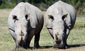 Ρινόκερος ψάχνει το άλλο του μισό… στο Tinder!