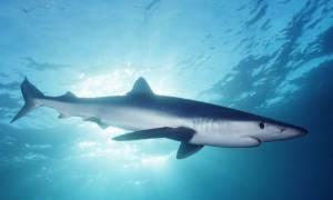 Σκόπελος: Έπιασαν καρχαρία μήκους επτά μέτρων!