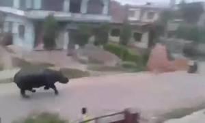 Ρινόκερος πήρε μοτοσικλετιστή στο κυνήγι μέσα σε κατοικημένη περιοχή και σκόρπισε τον τρόμο (vid)
