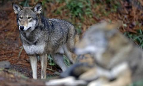 Φθιώτιδα: Λύκοι επιτέθηκαν σε κυνηγόσκυλα και πρόβατα