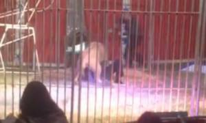 Βίντεο-Σοκ: Λιοντάρι αρπάζει από το λαιμό τον εκπαιδευτή του και τον σέρνει στη σκηνή