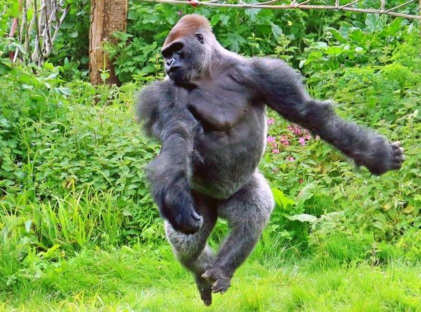 Γορίλας χορεύει μπαλέτο και τρελαίνει κόσμο! (pics)