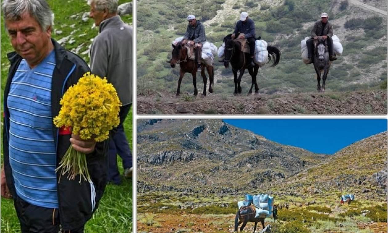 Αλβανοί αλωνίζουν τα ελληνικά βουνά και αφανίζουν τα αρωματικά φυτά
