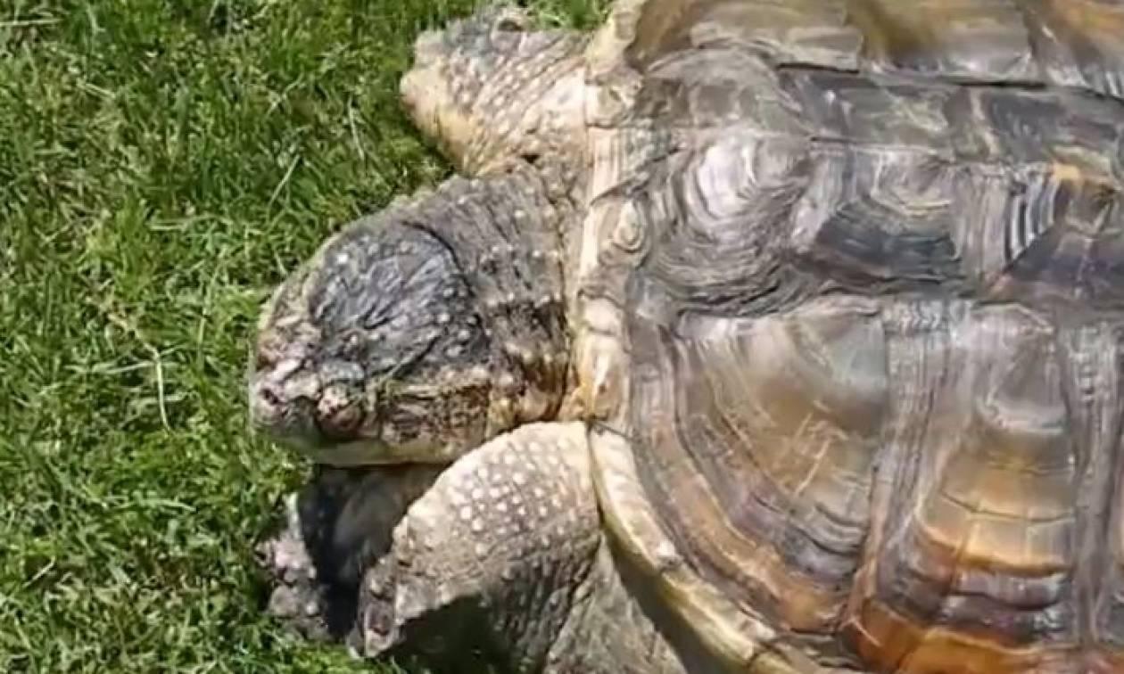 Θα σας τρελάνει αυτή η χελώνα. Νομίζει ότι είναι σκύλος... (video)