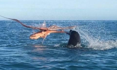 Η άγρια μάχη μιας φώκιας με ένα τεράστιο χταπόδι! (vid)