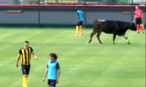 Μυθική... εισβολή αγελάδας σε γήπεδο! Διέκοψε ποδοσφαιρικό αγώνα (video)
