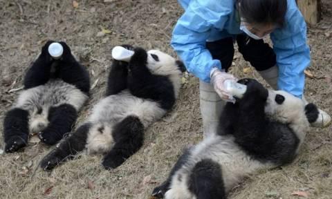 Όχι ένα αλλά τρία μωρά πάντα γεννήθηκαν σε επαρχία της Κίνας!