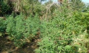 Συναγερμός στην ΕΛ.ΑΣ.: Εντοπίστηκε στη Φθιώτιδα χασισοφυτεία με περισσότερα από 1000 δένδρα!