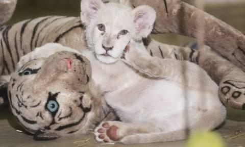 Σπάνιο λευκό λιονταράκι γιορτάζει τα πρώτα του γενέθλια στη Βαγδάτη