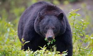 Απίστευτο: Ξύπνησε και είδε μια αρκούδα να δαγκώνει το κεφάλι του! (pics)