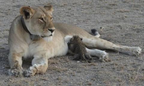 Eξαιρετικά σπάνιο φαινόμενο: Λέαινα θηλάζει ορφανή λεοπάρδαλη! (pic)
