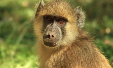 Ζάμπια: Παιχνιδάρης μπαμπουίνος βύθισε στο σκοτάδι μια ολόκληρη πόλη!