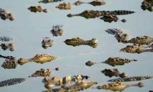 Ινδονησία: «Μαγεμένος» κροκόδειλος επιστρέφει σορό στους συγγενείς (vid)