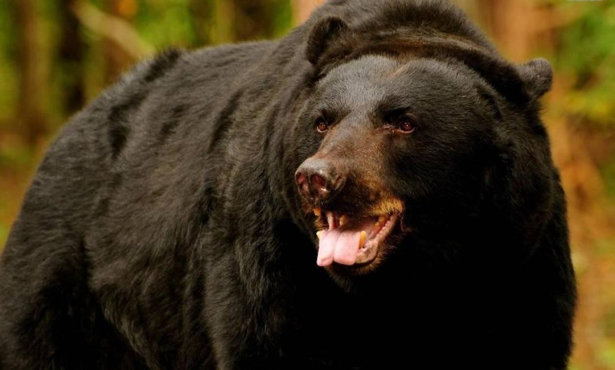 Αρκούδα εξολόθρευσε 200 πρόβατα μέσα σε λίγα λεπτά