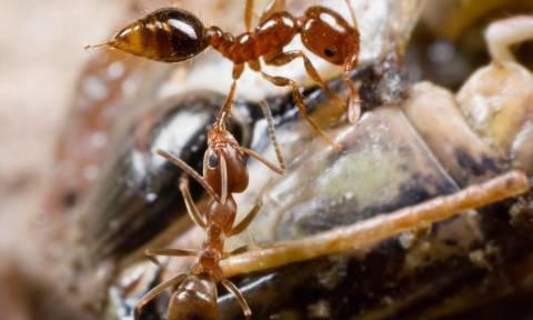 Προσοχή! Αν δείτε αυτά τα μυρμήγκια σπίτι σας τότε βρίσκεστε σε κίνδυνο