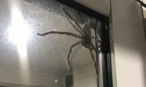 Τρόμος! Αν δείτε αυτή τη γιγαντιαία αράχνη σπίτι σας… απλά τρέξτε