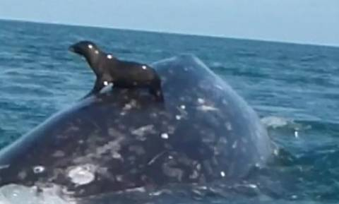 Το βίντεο της χρονιάς! Φάλαινα σηκώνει... φώκια στον αέρα (video)