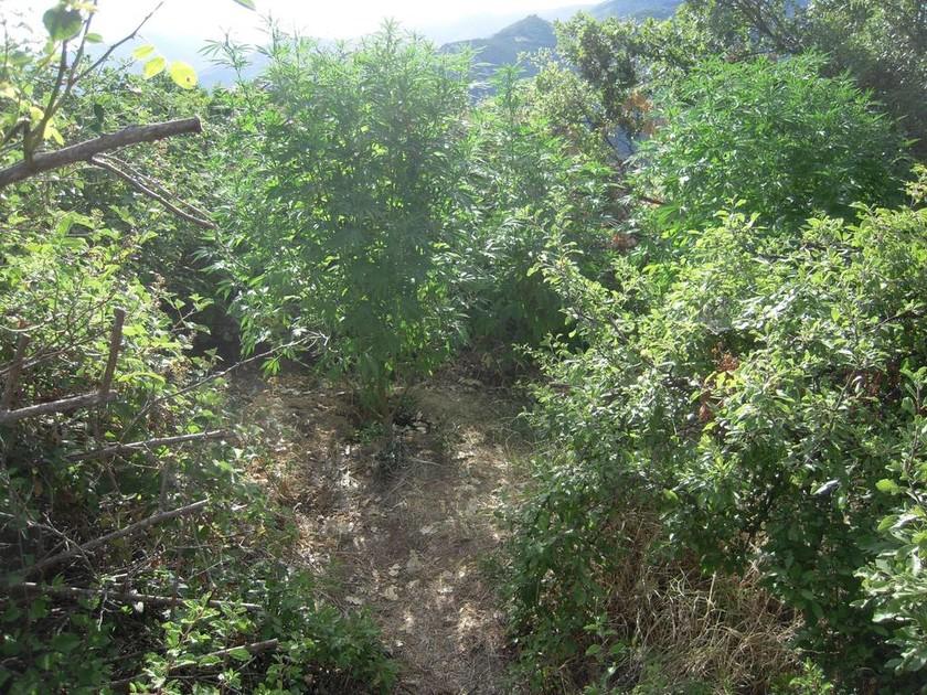 Εντοπίστηκαν δύο χασισοφυτείες σε δάσος στα Γρεβενά (photos)