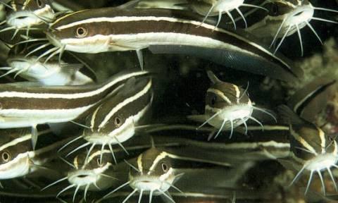 Συναγερμός στις ελληνικές θάλασσες για το ψάρι με το θανατηφόρο άγγιγμα