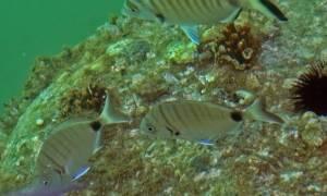 «Εισβολή» ξένων θαλάσσιων ειδών στα ελληνικά νερά