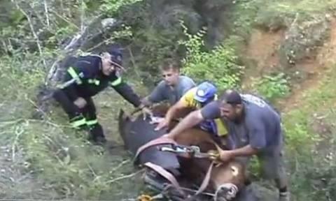 Πτολεμαΐδα: Εντυπωσική διάσωση ταύρου από χαράδρα 80 μέτρων! (vid)