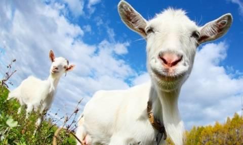 10 ευρώ την ημέρα δίνει ο Δήμος Χίου για όσους φιλοξενούν αδέσποτες… κατσίκες!