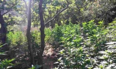 Εντοπίστηκε μεγάλη χασισοφυτεία στην Πάτρα – Επεισοδιακή σύλληψη του καλλιεργητή (pics)