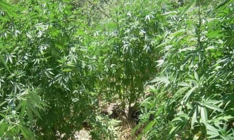 Λαμία: «Καρτέρι» σε καλλιεργητή χασισοφυτείας στις όχθες του Σπερχειού