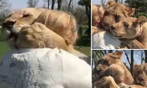 Συγκλονιστικό βίντεο: Η απίστευτη αντίδραση λιονταριών όταν βλέπουν τη γυναίκα που τα μεγάλωσε!