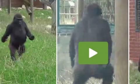 Θα πάθετε πλάκα. Γορίλας προτιμά να περπατά σαν... άνθρωπος (video)