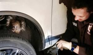 Αυστραλία: Η απίστευτη περιπέτεια ενός κοάλα στον άξονα ενός αυτοκινήτου (pics)