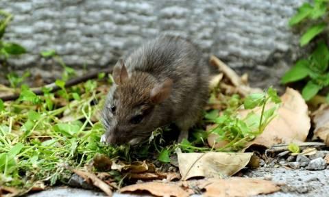 Νοσοκομείο Κιλκίς: «Παρέλαση» ποντικών καταγγέλλει η ΠΟΕΔΗΝ