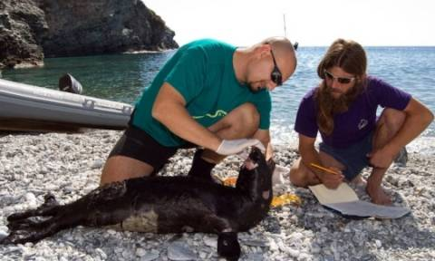 Παγκόσμια διάκριση για τον... «φύλακα» της Μεσογειακής φώκιας στην Ελλάδα