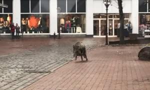 Τρόμος από την... εισβολή αγριογούρουνων σε πόλη της Γερμανίας - 4 τραυματίες (pics&vids)