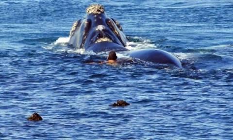 Εντυπωσιακό: Τεράστιες φάλαινες «χορεύουν» γύρω από κολυμβητή! (pics+vid)