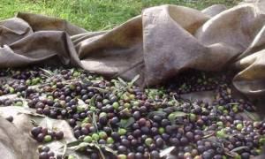 Χαλκιδική: Εξαρθρώθηκε σπείρα που «ρήμαζε» ελαιόδενδρα - Έξι συλλήψεις