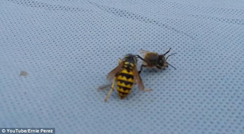 Viral: Η άγρια μονομαχία ανάμεσα σε μια σφήκα και μια μέλισσα (vid+pics)
