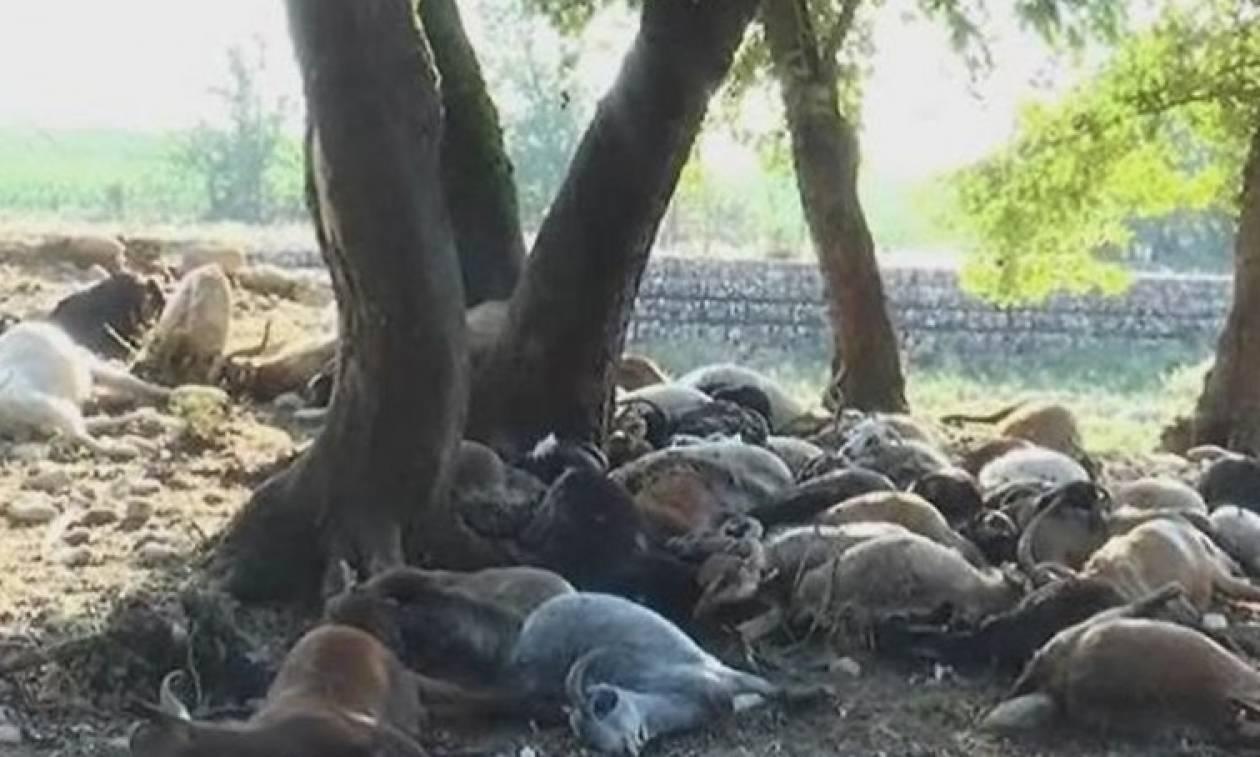 Κεραυνός ξεκλήρισε κοπάδι από πρόβατα - Τη «γλίτωσε» φτηνά ο κτηνοτρόφος