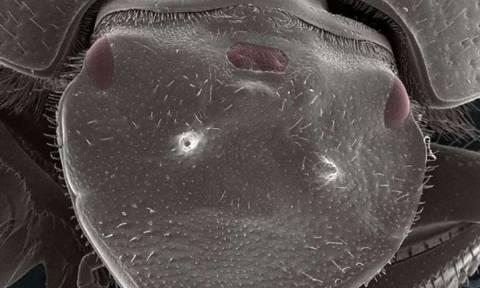 Επιστήμονες δημιούργησαν σκαθάρι με... τρίτο μάτι!