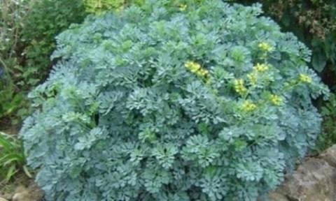 Αυτό είναι το φυτό που διώχνει γρουσουζιά, γλωσσοφαγιά και κακό μάτι!