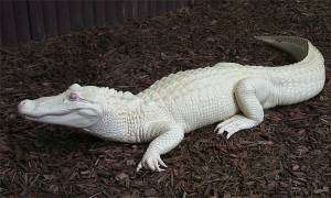 Viral video: Σπάνιος λευκός κροκόδειλος ανακαλύφθηκε σε ποτάμι της Αυστραλίας