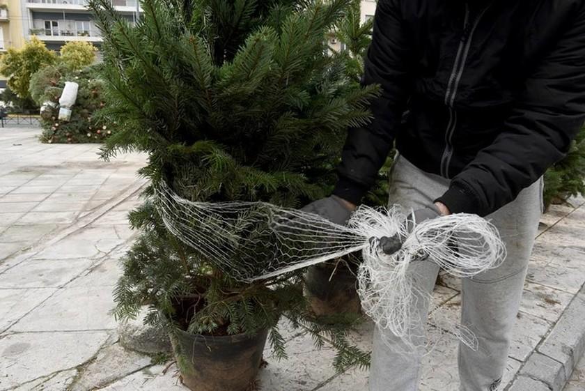 Το ελατόδασος στο Πεδίον του Άρεως φέρνει «άρωμα» Χριστουγέννων